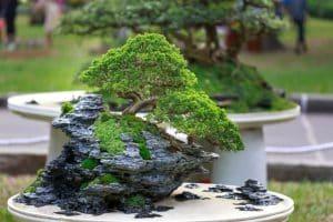 que es un bonsai silvosa hermanos viveros